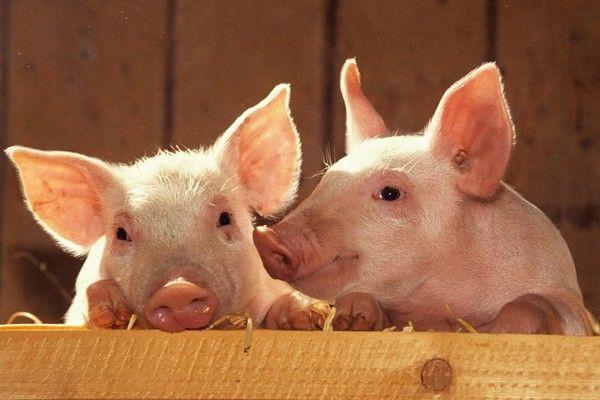 Употребляют ли жмых конопли в пищу для свиней